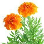 marigold-5