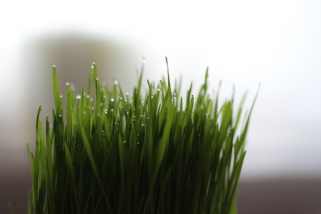 health-benefits-of-wheatgrass
