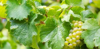 benefits of grape leaves