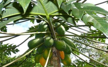 papaya-leaves