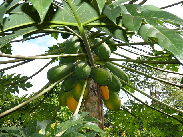 papaya-leaves