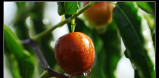 health benefits of jujube fruit