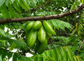 health benefits of bilimbi fruit