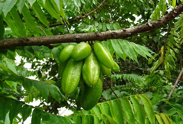 health benefits of bilimbi fruit