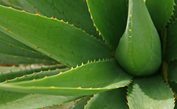 aloe vera leaves' beauty benefits