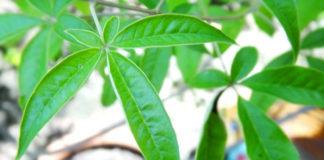 lagundi health benefits