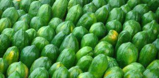 green papaya fruit for gout treatment