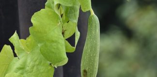 ridge-gourd-health benefits