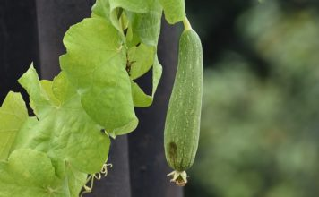 ridge-gourd-health benefits