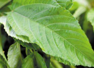 jute-leaves
