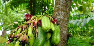 bilimbi-fruit benefits