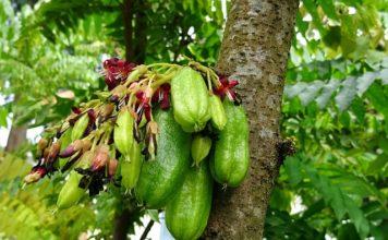 bilimbi-fruit benefits