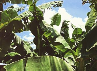 benefits of banana leaves