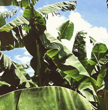 benefits of banana leaves